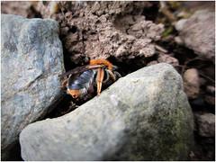 Early Mining Bee (JulieK (thanks for 6 million views)) Tags: earlyminingbee andrenahaemorrhoa solitarybee burrow garden fauna hbbbt bee insect invertebrate soil stones canonixus170