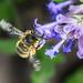 Anthophora quadrimaculata 180521 134.jpg