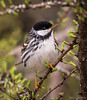 Blackpoll Warbler (Melissa M McCarthy) Tags: blackpollwarbler blackpoll warbler bird songbird animal nature outdoor wildlife cute tiny small black white natural perched portrait stjohns newfoundland canada spring canon7dmarkii canon100400isii