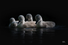 Baby Boom <3 (Claudia Brockmann) Tags: natur nature wasser water wildlife wildanimal outdoor animal animals tiere tier schwan schwäne schwanenbaby see sea explore