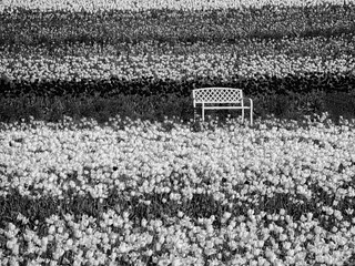 Bench In Field Of Tulips