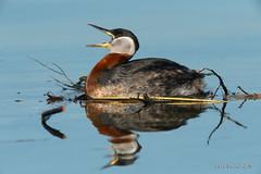 Oh yeah baby.. (Earl Reinink) Tags: bird animal waterfowl nature water lake reflection spring twig branch grebe redneckedgrebe earl reinink earlreinink adhdtuhdza