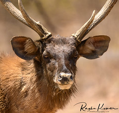 Anna Zoological Park, India (rvk82) Tags: 2018 animals annazoologicalpark chennai deer deersafari india march march2018 nikkor200500mm nikon nikond850 rvk rvkphotography raghukumar raghukumarphotography southindia tamilnadu vandalur vandalurzoo wildlife rvkonlinecom rvkphotographycom peerakankaranai in