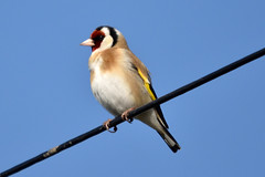 Goldfinch (42jph) Tags: nikon d7200 sigma 15500 wildlife nature bird uk england new hartley northumberland finch goldfinch