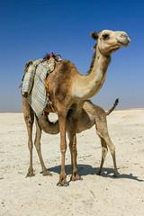Camels (RunningRalph) Tags: camel dakhla dakhlaoasis desert westelijkewoestijn westerndesert woestijn newvalleygovernorate egypte eg