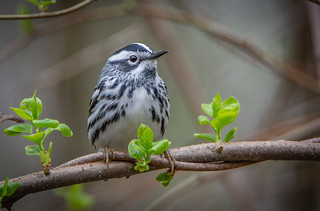 Black-and-white Warbler Mniotilta varia