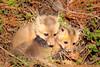 Two fox siblings (Beth Bennett & Gérard Cachon) Tags: fox cynwyd pennsylvania bala cub kit pup foxes den philadelphia