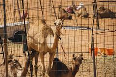 wild camels (rick.onorato) Tags: arabia arabian desert sand muslim islam camels oman wahiba sands