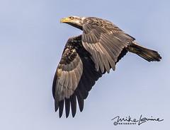 DSC_0549 (mikeyasp) Tags: eagles juvenile flying nature outdoors conowingo haliaeetusleucocephalus youngeagles birds avian birdsofprey