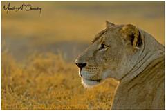 Queen of the Lake! (MAC's Wild Pixels) Tags: queenofthelake lioness pantheraleo lion simba lionpride queenofthejungle queenofthesavannah wildcat animal mammal bigpussycat africanwildlife wildlife africanlion goldenpussy outdoors outofafrica safari gamedrive beautifulpussy wildlifephotography sunrise goldenhour goldenlight lakenakuru wildpussy lakenakurunationalpark greatriftvalley kenya macswildpixels coth ngc npc coth5 alittlebeauty fantasticnature