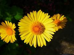 "Flowers of a ""spring daisy"". (Bienenwabe) Tags: springdaisy daisy doronicumgrandiflorum doronicum flower macro flowermacro spring springflowers gemswurz grosblütigegemswurz"