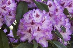 purple rhododendron (ToJoLa) Tags: 2018 canon spring voorjaar lente kleuren bloemen mood compositie purple paars rhododendron green