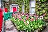 Tulip Garden (mickreynolds) Tags: 2018 flowers may nx500 samyang12mm tulips westport purple pink green comayo ireland garden ivy red door town