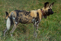 Mabecos Back at Gorongosa (zimbart) Tags: africa mozambique gorongosanationalpark fauna vertebrata mammals carnivora canidae lycaon lycaonpictus