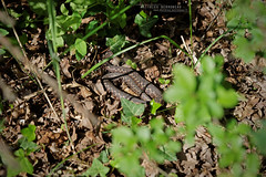 Vipère aspic, commune du Teich (Matthieu Berroneau) Tags: sony alpha macro nature france herpéto wildlife animal animaux ff 24x36 full frame a7ii 7ii 7mk2 sonyilce7m2 herping herpeto reptile reptilian reptilia serpent serpente snake serpentes snakes serpiente vipera field herp vipère aspic asp vibora aspid subspecies zinniker пепелянка aspis sugegorria venin venimeux venimous venon venomous poisonous serpents aspics zinnikeri vipèreaspic viperaaspiszinnikeri aspviper viperaaspis sonya7ii sonya7mk2 sonyalpha7mark2 sonyalpha7ii 90 28 fe f28 g oss fe90f28macrogoss sonyfesonyfe2890macrogoss objectifsony90mmf28macrofe sel90m28g