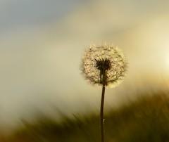 Dandelion. (agnieszka.a.morawska) Tags: nature maj manualfocus manuallens meadow spring helios helios44m bkhq bokehlicious beyondbokeh bokeh dandelion