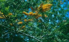 Silky oak (Grevillea robusta) dieback (19 Feb 1963) (Plant pests and diseases) Tags: grevillea robusta silk oak dieback stem necrosis internal foliar chlorosis yellowing