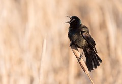 How to get girls to notice you (Tracey Rennie) Tags: bird display grackle spring cattails bulrushes iridescent tongue alberta cochrane