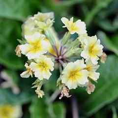 Square (Nagarjun) Tags: flowers spring kashmir srinagar pahalgam tulips colour macro jk