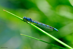 Demoiselle. (jpto_55) Tags: odonate demoiselle bleu macro bokeh xe1 fuji fujifilm fujixf55200mmf3548rlmois hautegaronne france flickrunitedaward