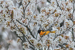 Baltimore oriole on Cherry Blossom (Michelle w.h. Xu) Tags: baltimoreorioleoncherryblossom baltimoreoriole cherryblossom orange flower spring bird birds pink flowers michellexu