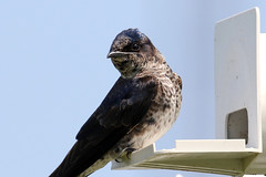 Purple Martin on perch...6O3A1564A (dklaughman) Tags: purplemartin bombayhooknwr delaware