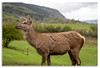Red Deer, Perthshire, Scotland (Graham Dobson Photography) Tags: reddeer scotland perthshire