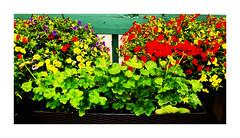Balcon en folie (garneau.joel2 Thank you for 2,000 view) Tags: flower fleur fleurs flowers fiori blumen flora flores plante outdoor nature bloom couleur giardini