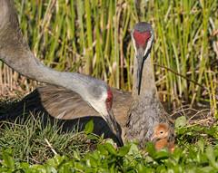 Checking on the baby (dubrick321) Tags: birds sandhillcrane colts sandhillcranebabies colt sandhillcranecolt sandhillcranenest