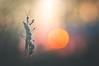 Avant la nuit (donlope1) Tags: macro nature light empuse mantis sunset sun bokeh wildlife proxy insect spring