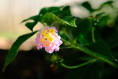 Lantana Jungle (Gene Ellison) Tags: plant lantana flower leaves garden