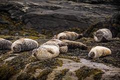 Harbor Seal (Phoca vitulina) (G. Warrink) Tags: visitscotland scotland alba scotspirit scotlandsbeauty thisisscotland hiddenscotland lovescotland findingscotland landscape landscapephotography beautiful panorama skye visitskye isleofskye lochcoruisk coruisk wildlife seals seal commonseal harborseal