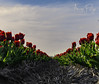 Tulpen zandhappen ( Echt Mooi! Happy Shooting day!) Tags: tulp tulpen nederland flower spring