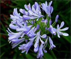 Anglų lietuvių žodynas. Žodis lily of the nile reiškia lily nilo lietuviškai.