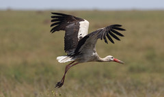 The Weekend Take-Off (AnyMotion) Tags: whitestork weisstorch ciconiaciconia inflight bird birds vogel vögel 2018 anymotion serengeti tanzania tansania africa afrika travel reisen animal animals tiere nature natur wildlife 7d2 canoneos7dmarkii ngc npc