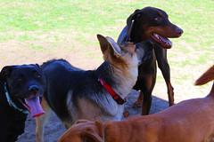 German Dog Love (marymillbern) Tags: german germanshepherd dogs dogpark lab dobermanpinscher doberman kansas leawoof leawood dogphotography
