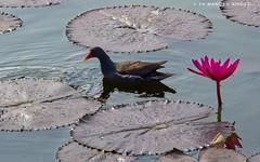 Moorhen. (MCSindagi) Tags: sonyindia sonyrx10 sonyrx10mk4 sonyrx10iv sony sonycybershot rx10iv rx10m4 bengaluru bangalore moorhen india indianbirds waterlily lotusleaf flower