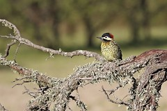 Carpintero Real (7sombreros) Tags: birds avesenlibertad birding birwatching naturewatcher simplelife deepnature wildlife