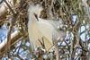 Snowy Egret (Bob Gunderson) Tags: birds california egrets egrettathula northbay northerncalifornia snowyegret sonomacounry wadingbirds west9thstreetrookery