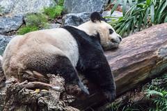 Resting (poormommy) Tags: alberta calgary calgaryzoo giantpanda panda pandapassage damao