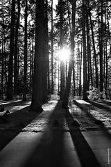 Shadows and light (JSB PHOTOGRAPHS) Tags: jsb4076 shadows light hendrickspark eugeneoregon trees on1photoraw d3 nikon 28300mm sun sunburst sunlight sunrays blackandwhite bw bikerack forest sunset