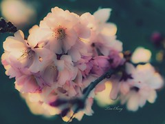 All for you / 全心全意 (still_shotz) Tags: nature blooming flowers cherryblossom