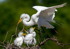 Great Egrets (Ed Sivon) Tags: america canon nature wildlife wild western southwest egret flickr bird baby white texas