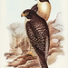 Falco melanogenys, Gould (Black-cheeked Falcon) Illustrated by Elizabeth Gould (1804–1841) for John Gould's (1804-1881) Birds of Australia (1972 Edition, 8 volumes). One of the most celebrated publications on Ornithology worldwide, Birds of Australia intr