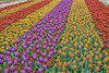 Tulips! (Charles Patrick Ewing) Tags: flower flowers nature natural outdoor landscape colorful colourful colors colours bright wonderful beautiful new all everything spring garden faves fave beauty horticulture factastic sunshine daylight day art artistic landscapes