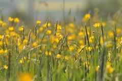 (Uli He - Fotofee) Tags: ulrike ulrikehe uli ulihe ulrikehergert hergert nikon nikond90 fotofee meinweg fleur sheltie shetlandsheepdog sheepdog hund raps weg dandelion pusteblume löwenzahn gelb badewanne jauche nass