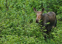 Moose...#7 (Guy Lichter Photography - 4M views Thank you) Tags: moose canon 5d3 canada manitoba rmnp wildlife animal animals mammal mammals
