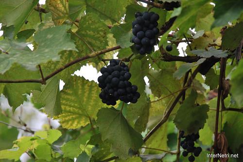 Виноград InterNetri Ukraine 1