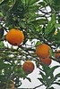 fresh orange for someone? ;) (green_lover (your COMMENTS are welcome :))) Tags: orange fruits tree branches tenerife canaryislands spain leaves