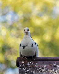 Dove portrait (carlos_ar2000) Tags: paloma pigeon dove ave pajaro bird naturaleza nature animal dof bokeh calle street buenosaires